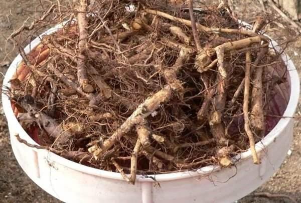 Выкопанные корни шиповника