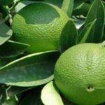 Бергамот – что это за растение, фото, как добавляют в чай?