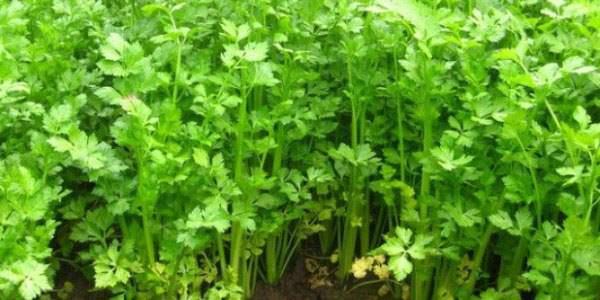 Молодые растения сельдерея