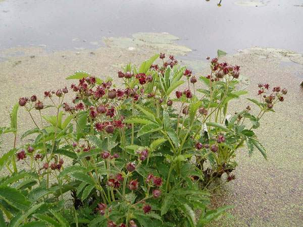 Растение сабельника