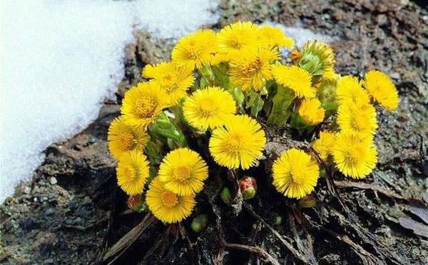 Цветы мать и мачехи на проталинах