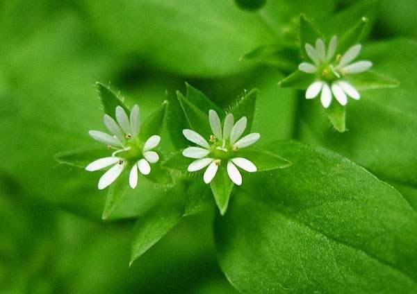 Цветки мокрицы