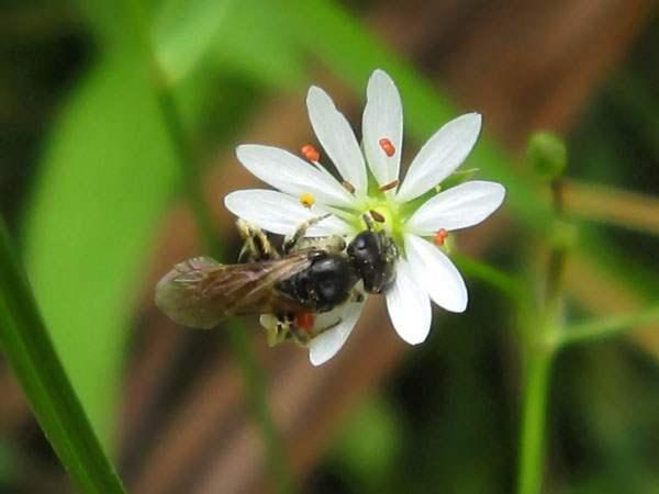 Звездчатка с насекомым пьющим нектар