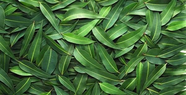 масло листьев эвкалипта в золотой звездочке