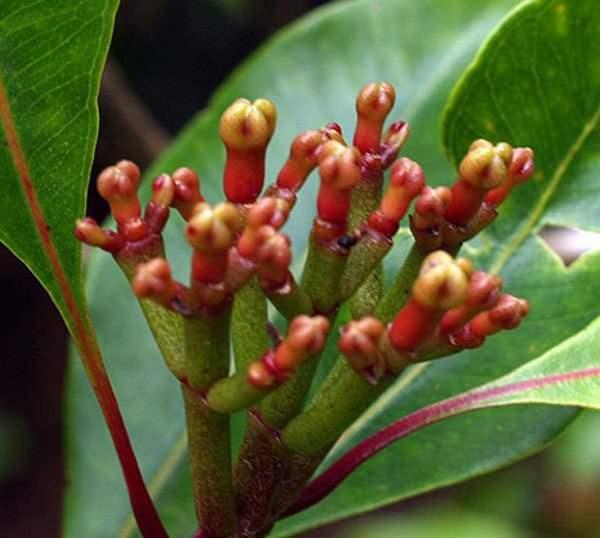 соцветие гвоздичного дерева