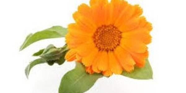 Оранжевая окраска цветка календулы