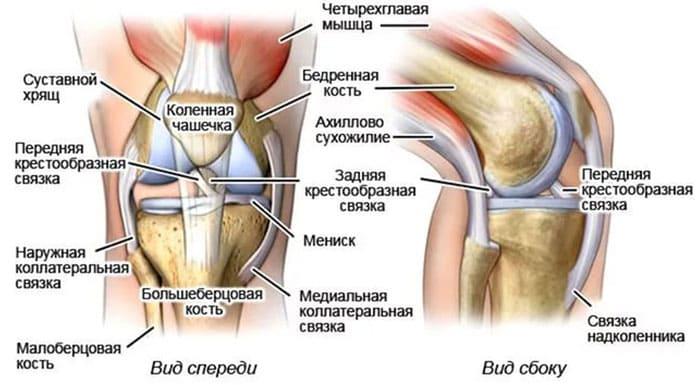 Схематическое изображение расположения связок в суставе колена