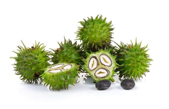 Разрезанные плоды клещевины. Хорошо заметно расположение 3 семян