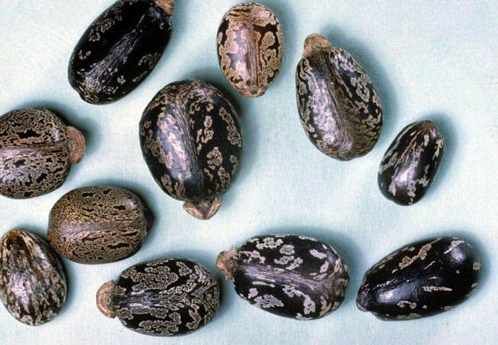 Внешний вид спелых семян клещевины